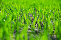High resolution macro shot grass Royalty Free Stock Photography