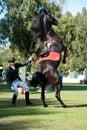 High school dressage of Lipizzan stallion