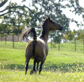 High spirited quarter horse running away from the camera on a sunny summer day Stock Image