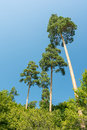 High trees in the carpathian forest on blue summer sky Stock Photo