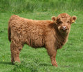 Highland Calf Royalty Free Stock Photo
