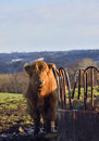 Highland calf curious next to feeder in field on a crisp winter afternoon Stock Photos