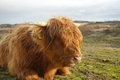 Highland Cattle Stock Photo