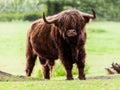 Highland cattle bull Royalty Free Stock Photo
