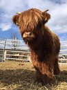Highland cattle a calf of Stock Images