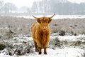 Highland cattle a cow in a snowy meadow Stock Images