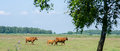 Highland cattle family with calf Stock Images