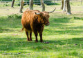 Highland cattle on a field Stock Photos