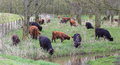 Highland cattle grazing in forest brown and black grazes Stock Photos