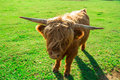 Highland cattle with horns on green meadow Royalty Free Stock Photo