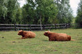 Highland cattle in the meadow Stock Photo