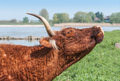 Highland cattle moving its head upwards with horns and flies on beside a river in the netherlands Royalty Free Stock Image