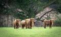 Highland Cattle. Royalty Free Stock Photo