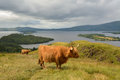 Highland Cattle overlooking Loch Lomond, Scotland, UK Royalty Free Stock Photo