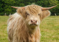 Highland cattle photograph of longhorn Royalty Free Stock Images