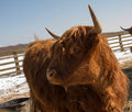 Highland cattle red or brown scottish Stock Image