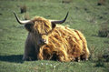 Highland cattle red in grass field on the isle of skye scottish scotland united kingdom Royalty Free Stock Images