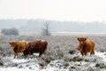 Highland cattle three cows in snow Royalty Free Stock Photography