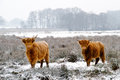 Highland cattle two cows in snow Royalty Free Stock Images