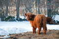 The highland cattle is well adapted for the scottish highlands and the nordic countrys and therefore lives outdoor even in winter Royalty Free Stock Photos