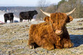 Highland cow Royalty Free Stock Photo
