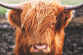 Highland cow cattle in Scotland Royalty Free Stock Photo
