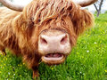 Highland cow chewing grass Royalty Free Stock Photo