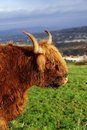 Highland cow close up of a Stock Photo