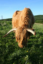 Highland cow feeding Royalty Free Stock Photos