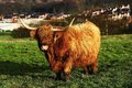 Highland cow a large in the sun Stock Images