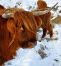 Highland cow looking at the camera Royalty Free Stock Photo