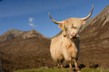 Highland cow with mountains in the background Stock Photo