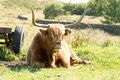 Highland cow this is not taking things seriously Stock Photography