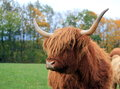 Highland cow portrait by autumn day with colorful leaves on trees Royalty Free Stock Photo
