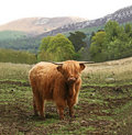 Highland Cow in Scotland Royalty Free Stock Photo