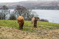 Highland cow in their home field in scotland Stock Photo