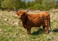 Highland cow in winter coat Royalty Free Stock Photos