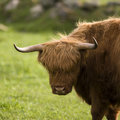 Highland cows Stock Photos