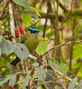 The Highland Motmot Royalty Free Stock Photo