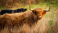 Highland red cow eating grass Royalty Free Stock Photography