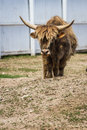 Highlands bull portrait of a on a small farm Royalty Free Stock Image