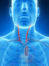 Highlighted carotid artery d rendered illustration of the Royalty Free Stock Images