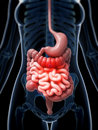 Highlighted digestive system d rendered illustration of a painful belly Stock Photography
