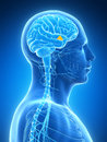 Highlighted hypothalamus d rendered illustration human Stock Photography