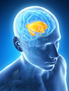 Highlighted inner brain parts d rendered illustration Stock Photo