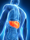 Highlighted male liver Stock Photos