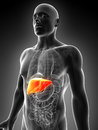 Highlighted male liver Stock Photo