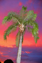 A highlighted palm against a sky aflame sunset sunrise flash washed hearty stands before an amazing Stock Photography