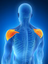 Highlighted shoulder muscle d rendered illustration human Royalty Free Stock Image