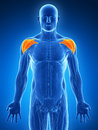 Highlighted shoulder muscles d rendered illustration Stock Photography